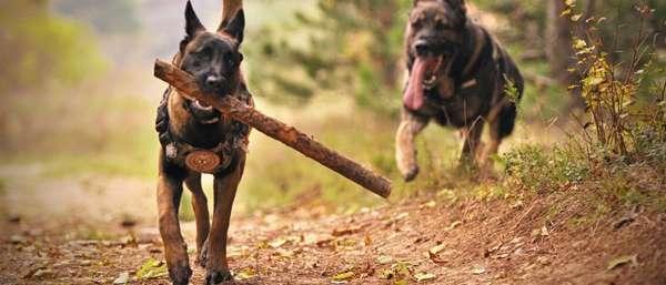 МВД составило список потенциально опасных пород собак — что нужно знать?
