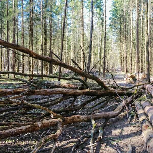Закон о сборе валежника в лесу с 1 января 2019 года – что нужно знать?